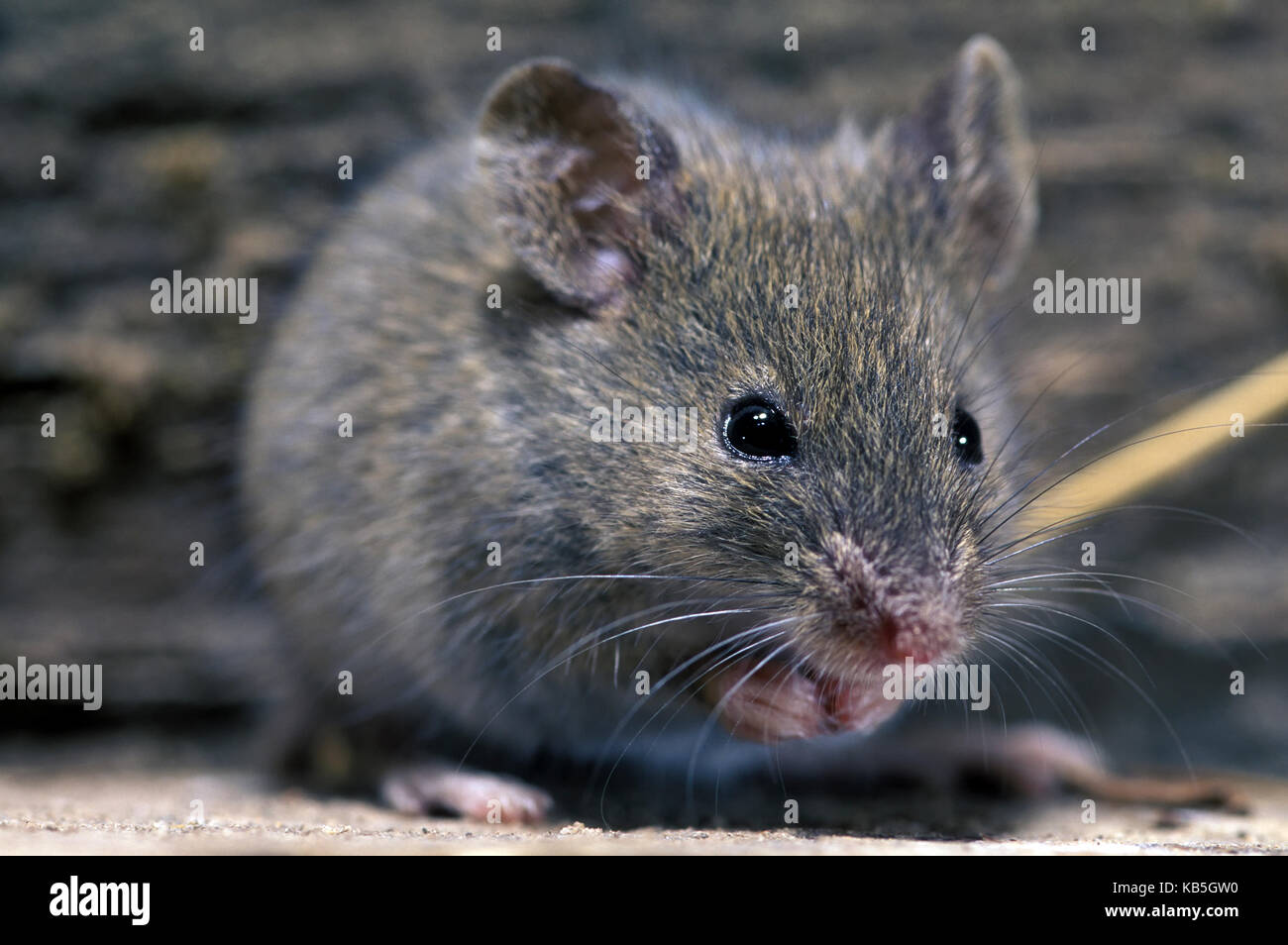 House mouse, Mus domesticus. Eating weat on a barn. Portugal - Stock Image