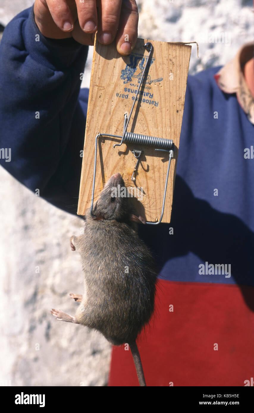 Brown rat, Rattus norvegicus. Caught in a rat trap. Portugal - Stock Image
