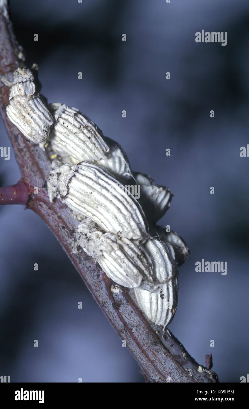 Adult female of cottony cushion scale, Icerya purchasi. It's a scale insect that feeds on more than 50 families - Stock Image