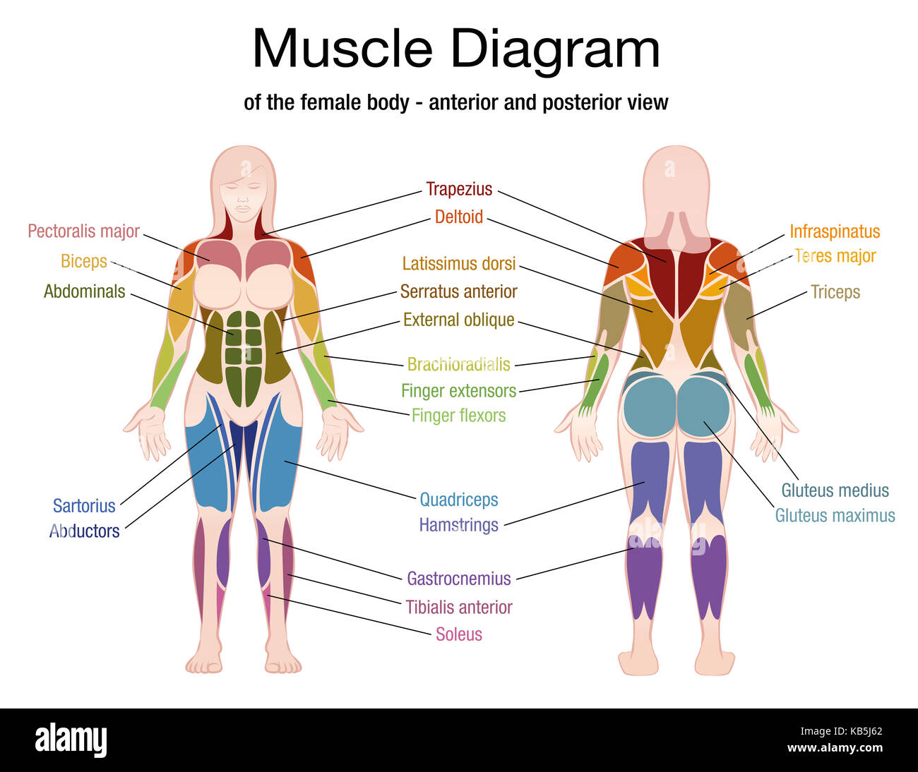 Muscle Diagram Of The Female Body With Accurate Description Of The