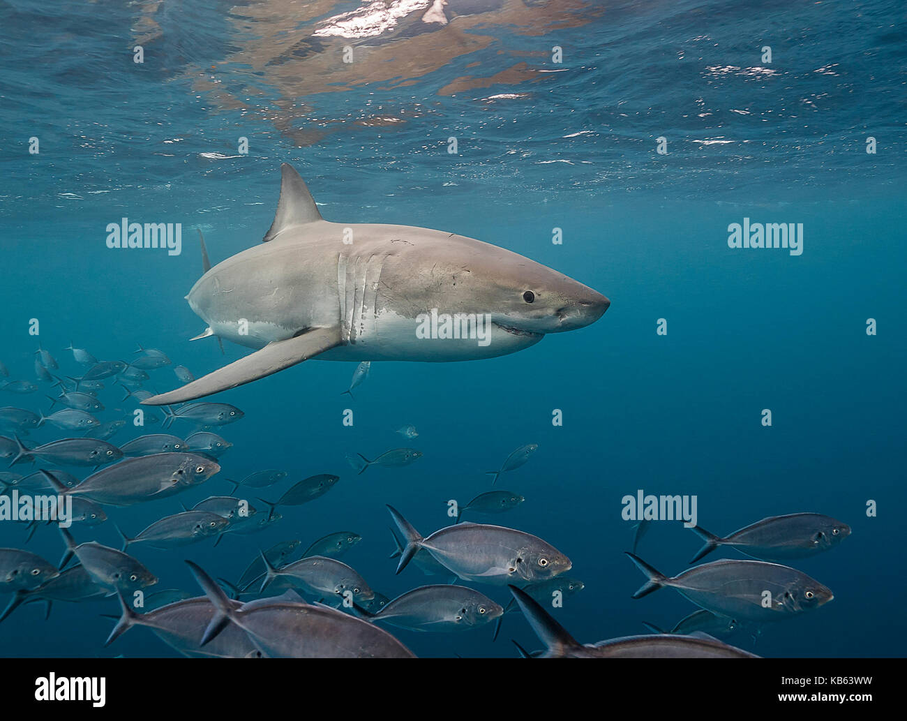 Great white shark and trevally jacks, Neptune islands, South Australia. - Stock Image
