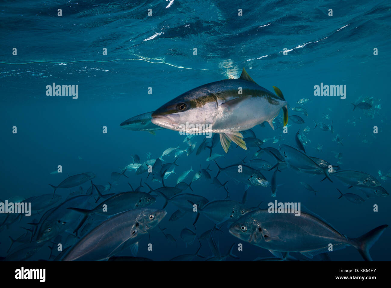 King fish swimming in a school of jackfish,Neptune Islands, South Australia. - Stock Image