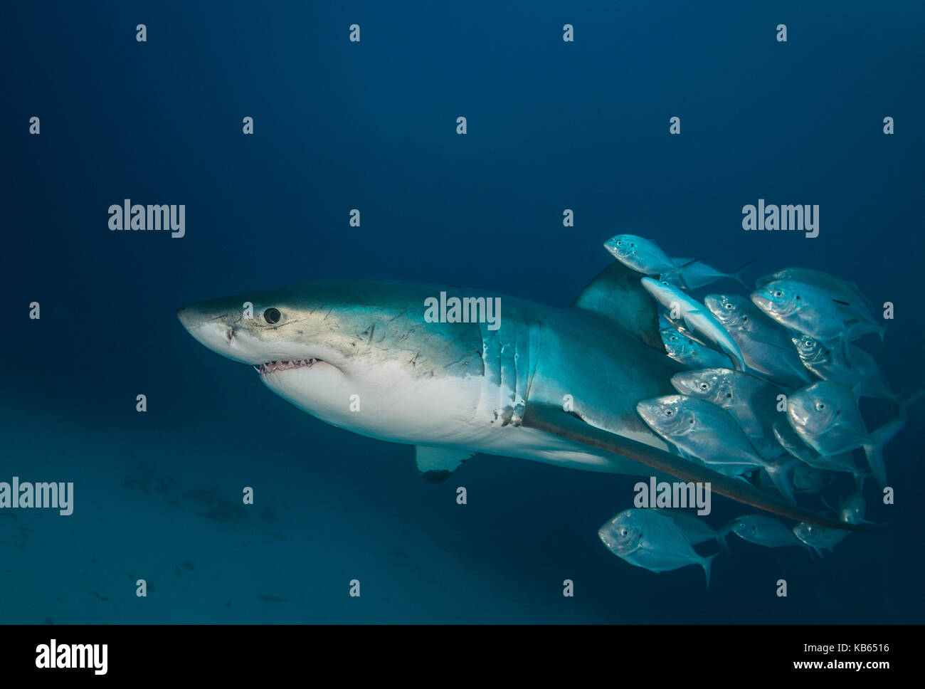 Great white shark and trevally jacks, Neptune islands, South Australia. - Stock Image
