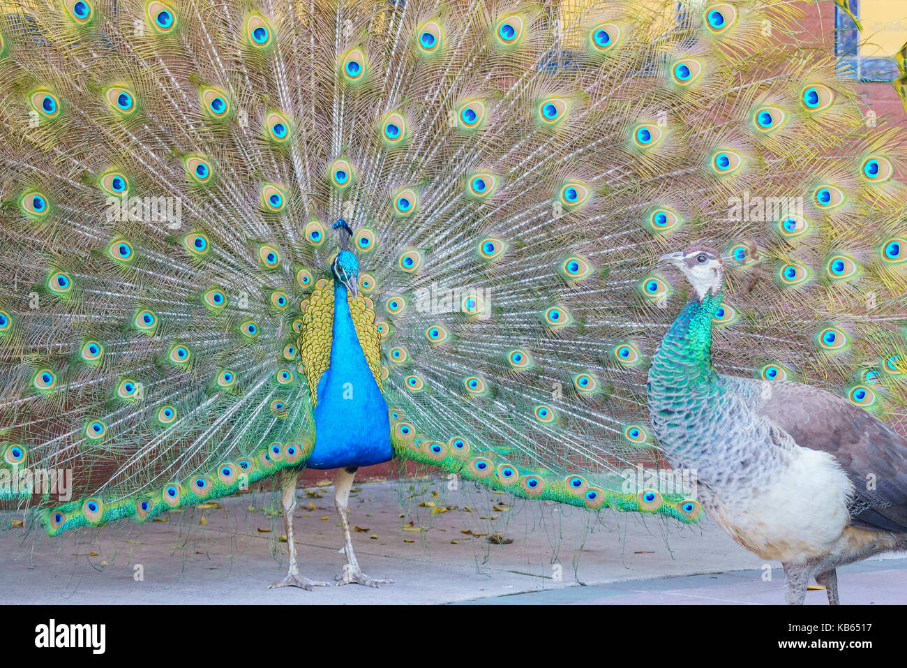 Beautiful peacock displaying his beautiful fan to a female peacock at Los Angeles County Arboretum & Botanic Garden Stock Photo
