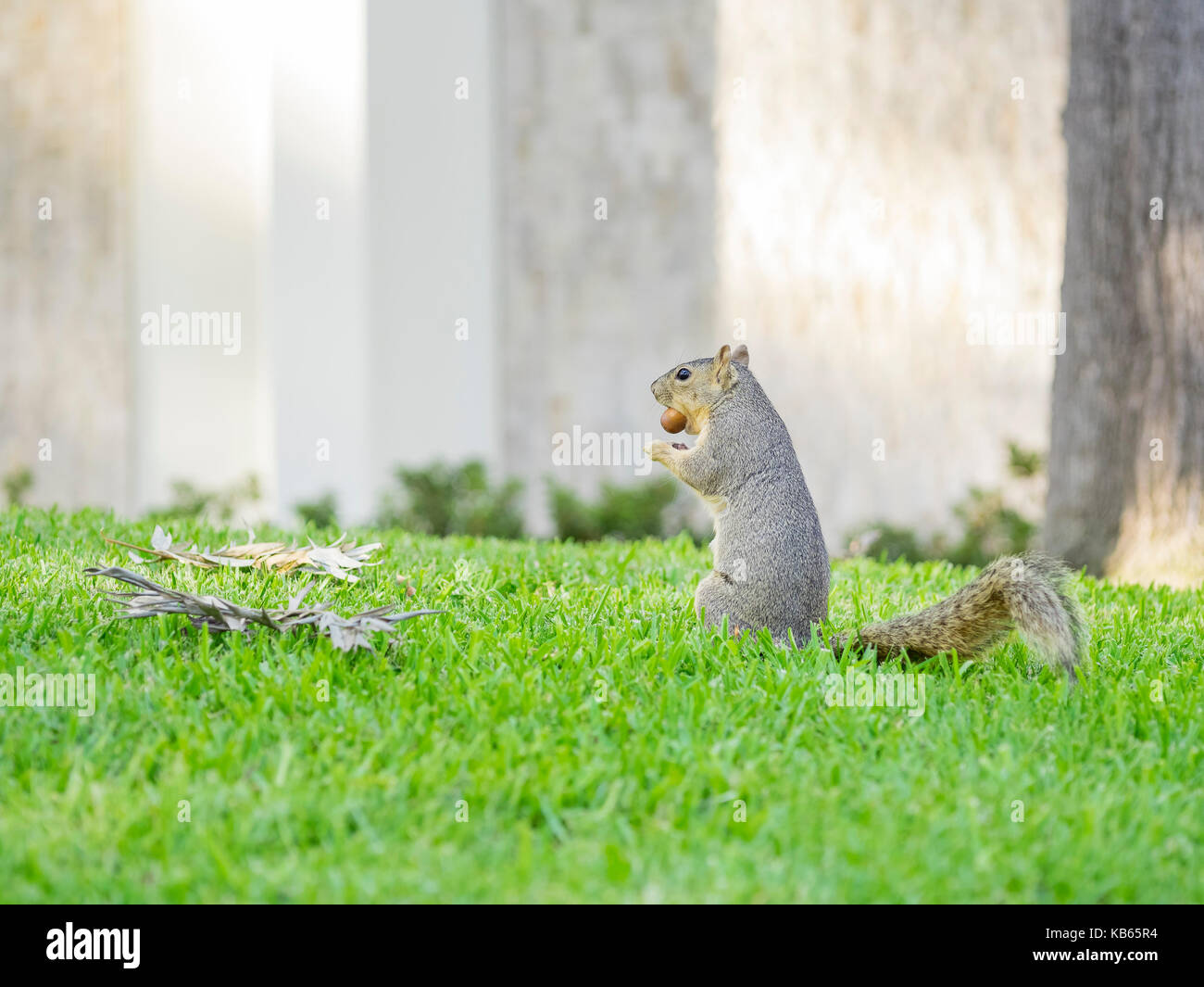 Cute small squirrel eating the nut - Stock Image