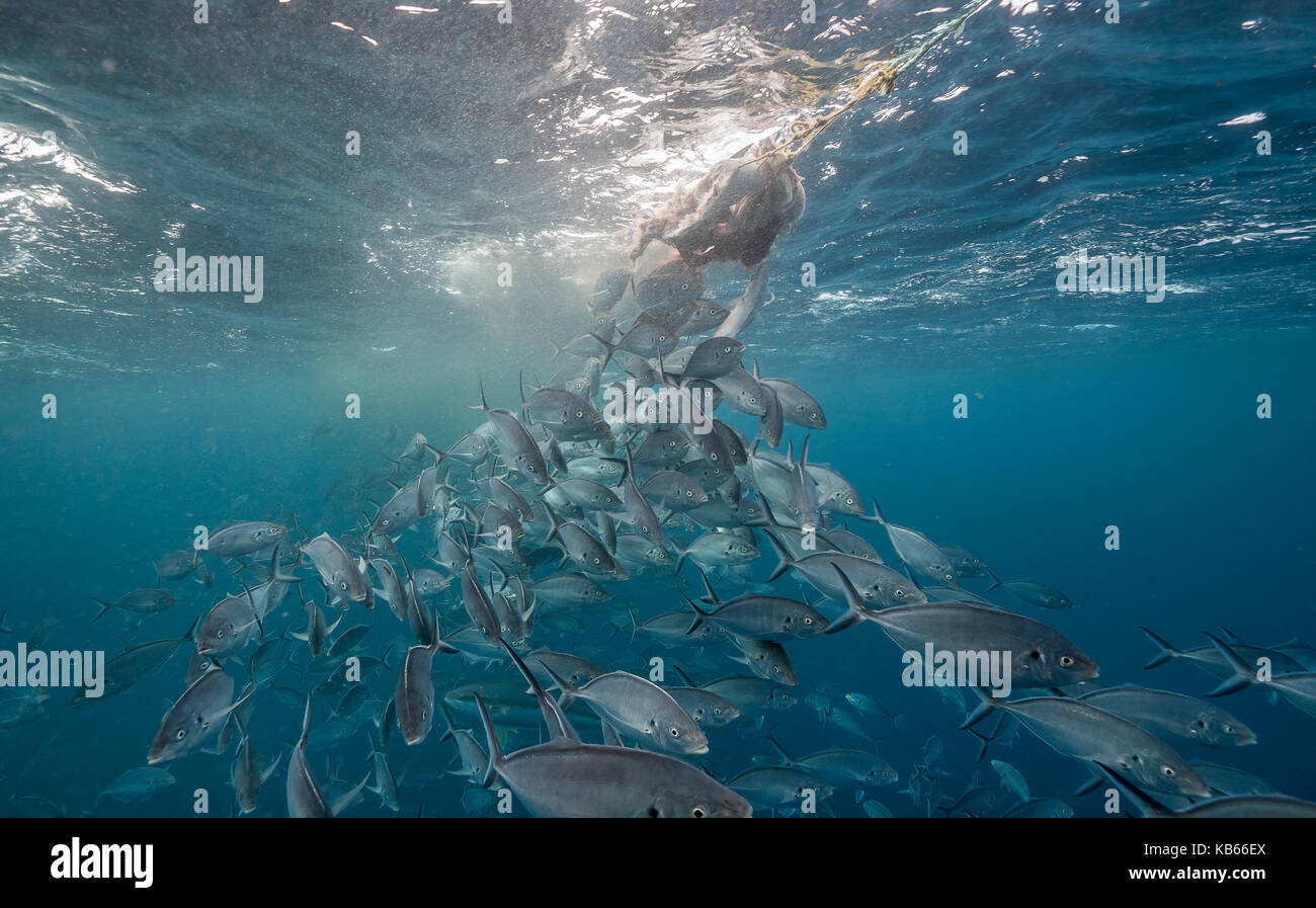 School of jacks attack the bait used to attract white sharks, Neptune Islands, South Australia. - Stock Image