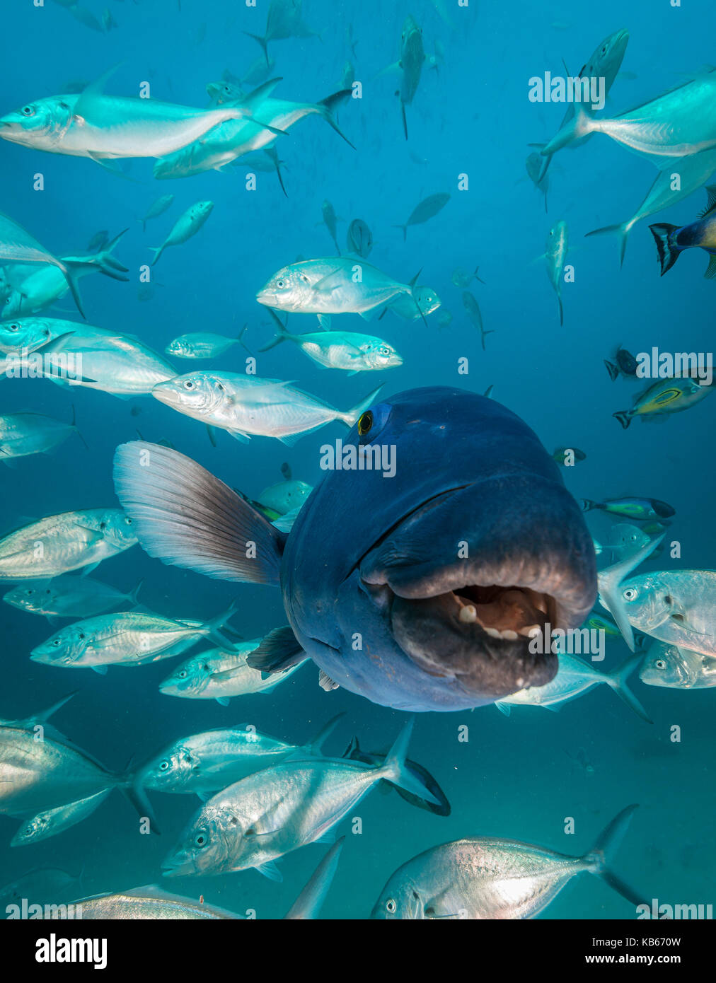 Close up view of the face of a blue groper amongst a school of jacks, Neptune Islands, South Australia. - Stock Image