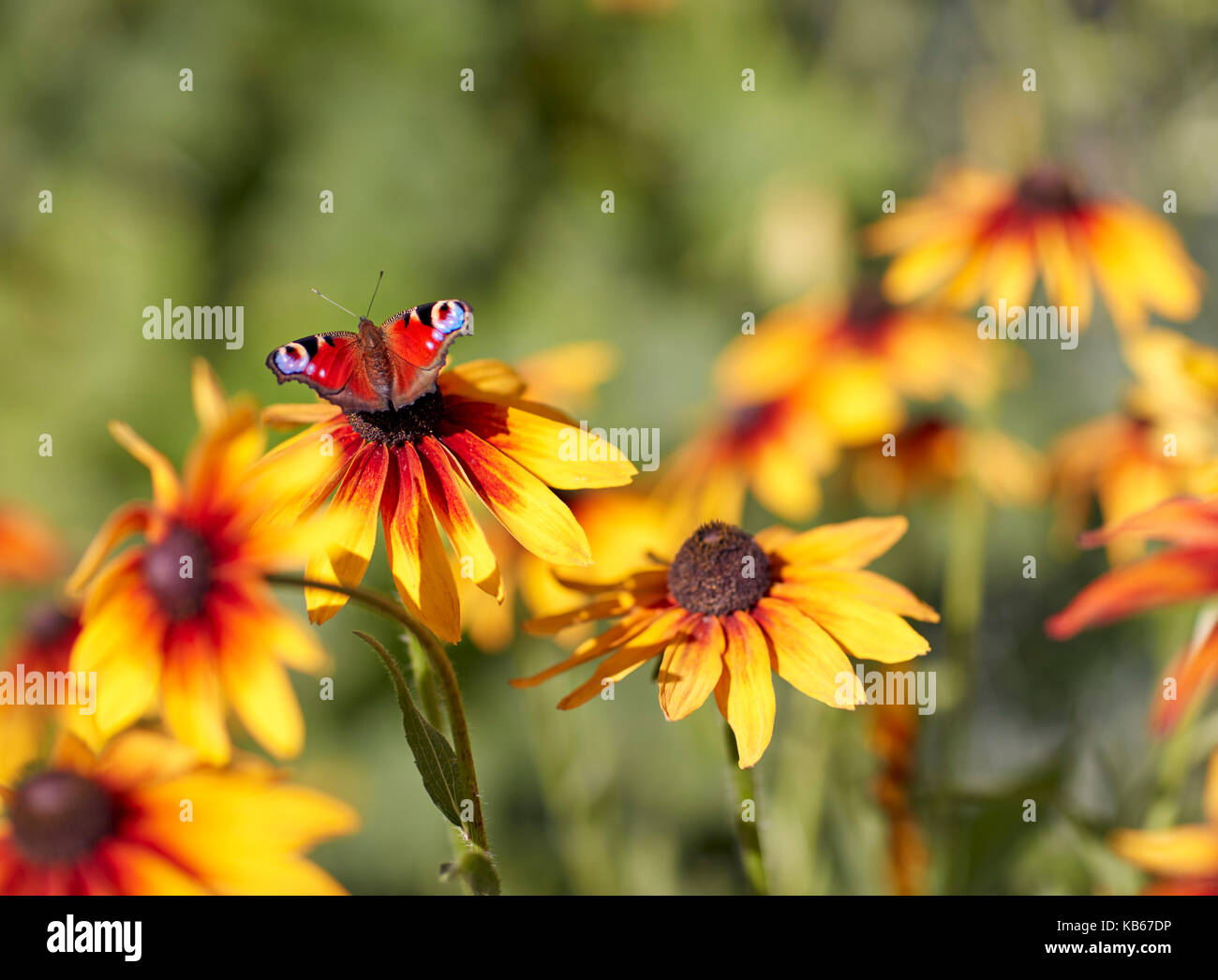 Peacock butterfly (Aglais io) perched on Rudbeckia (Rudbeckia hirta) flower. - Stock Image