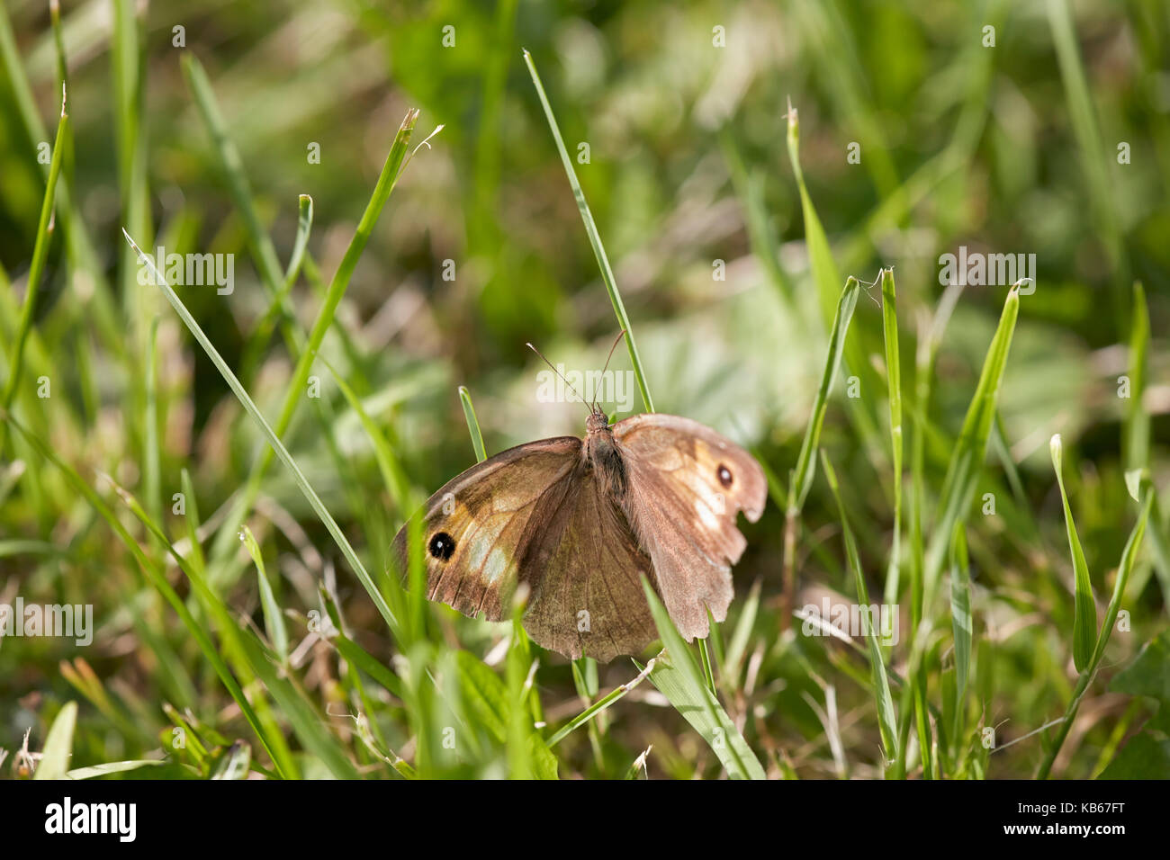 Meadow brown butterfly sitting in the grass. Scientific name: Maniola jurtina. - Stock Image