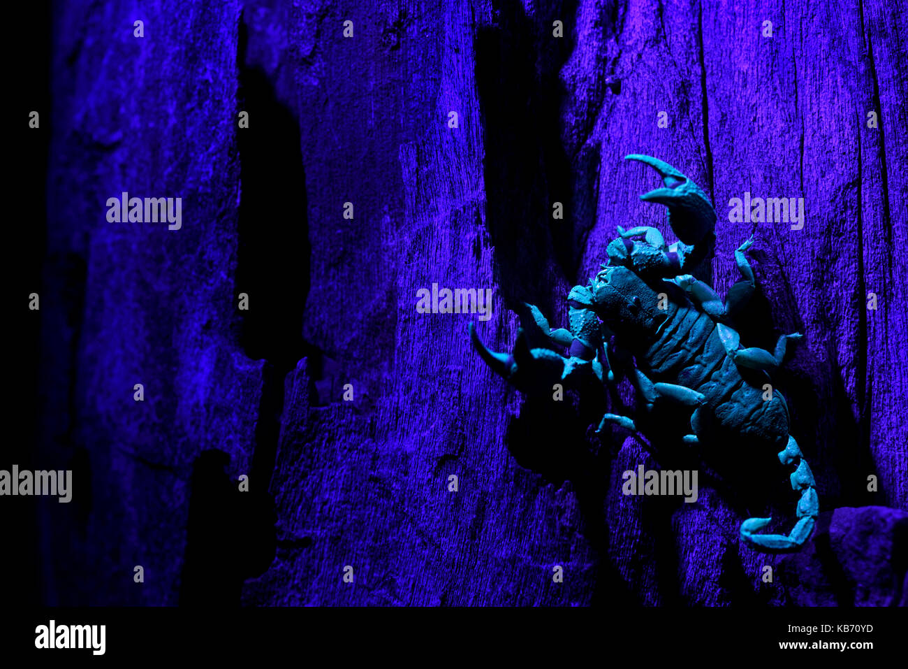 South African Scorpion (Opisthacanthus asper) illuminated with ultraviolet lights, South Africa, Limpopo, Kruger - Stock Image
