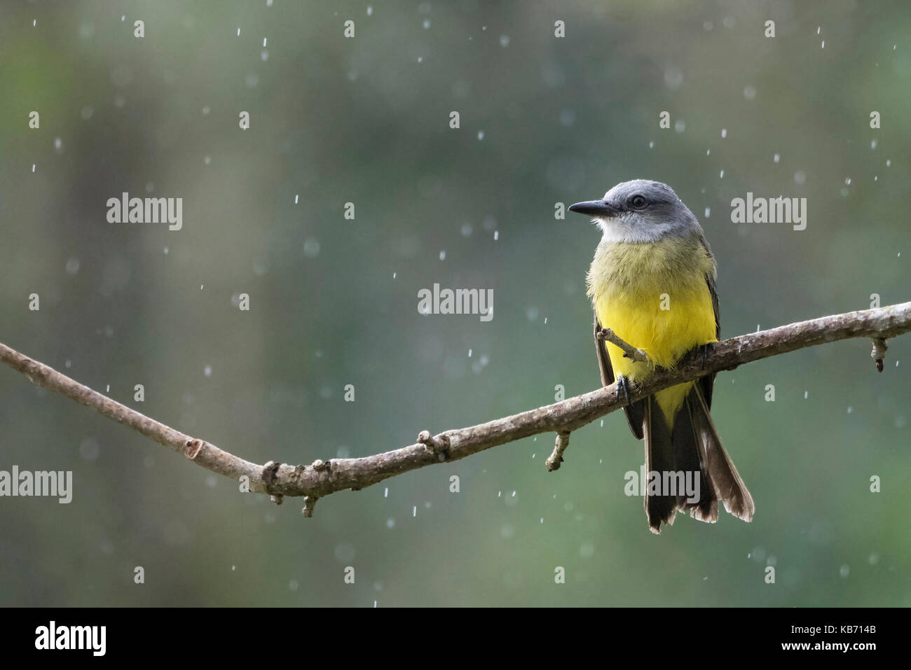 Tropical Kingbird (Tyrannus melancholicus) on outlook in heavy rainfall, Costa Rica, Alajuela, La Fortuna - Stock Image