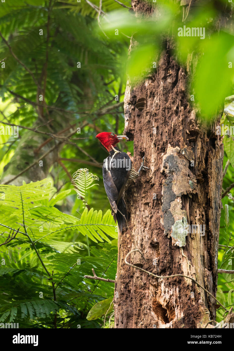 Male Pale-billed Woodpecker (Campephilus guatemalensis) picking a larva from a hole in a rotten tree in the forest, - Stock Image