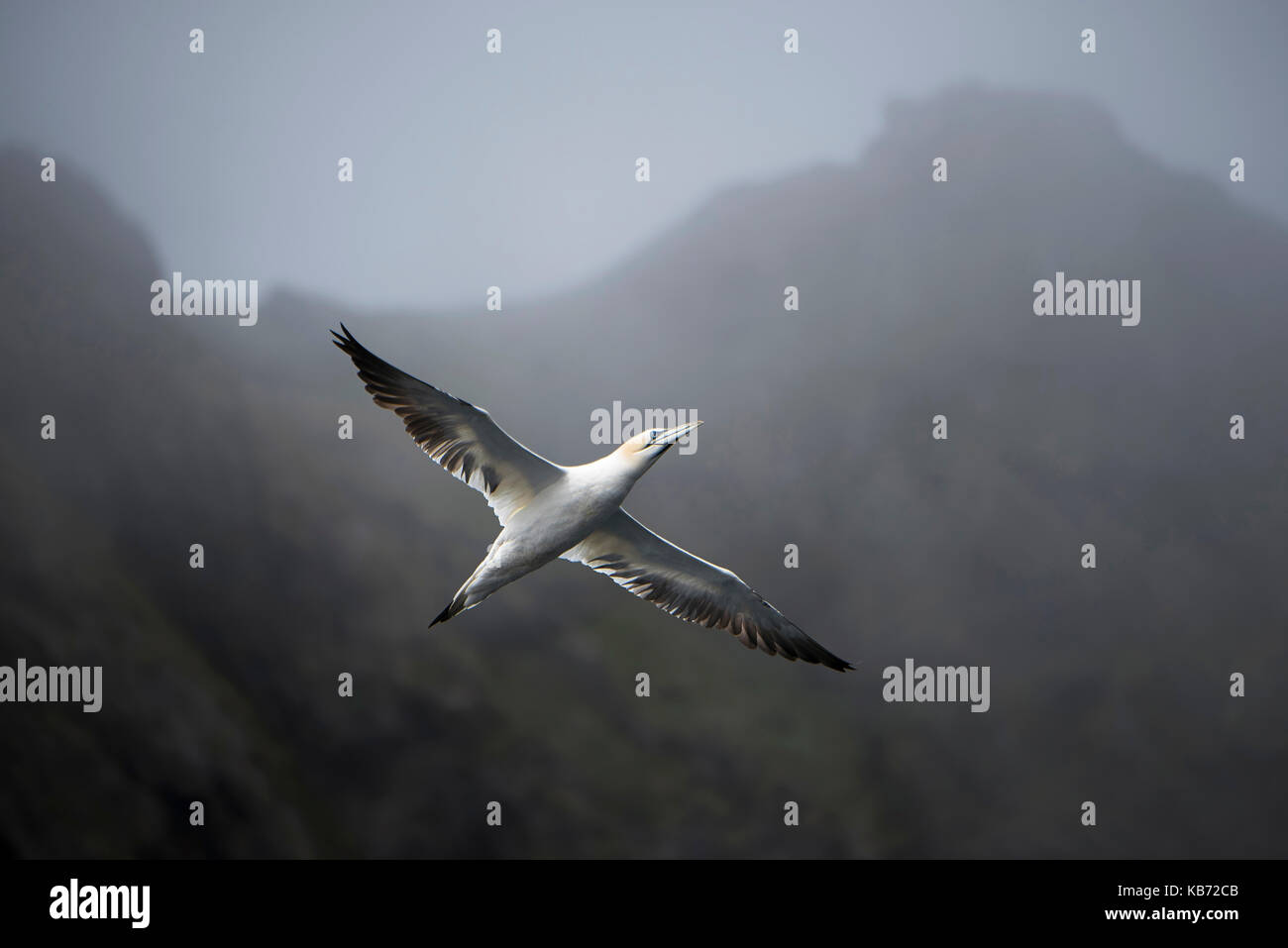Northern Gannets (Morus bassanus) flying in misty mountains, Norway, More og Romsdal, Runde island - Stock Image