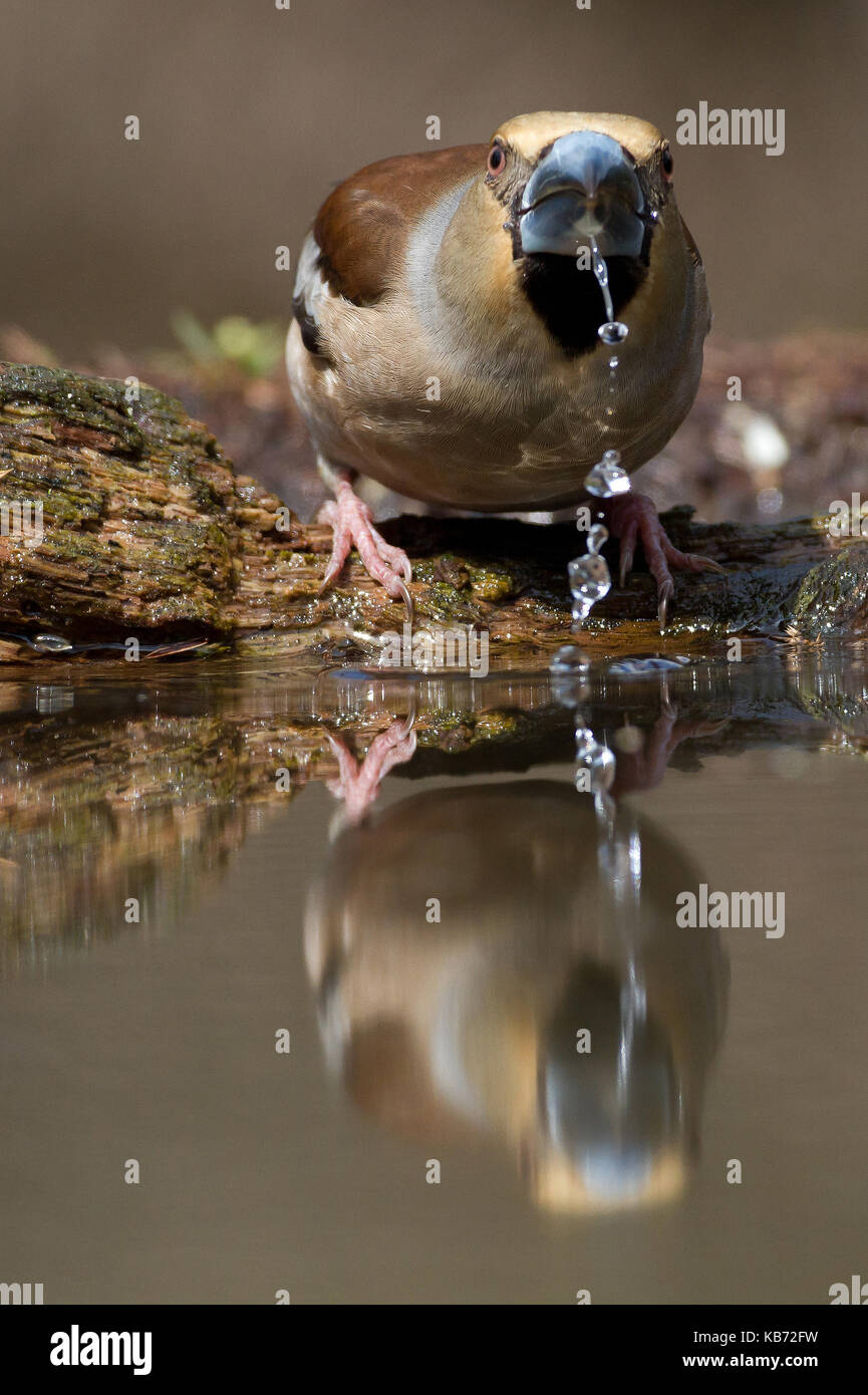 Drinking Hawfinch (Coccothraustes coccothraustes), the Netherlands, Overijssel, Lemele, Lemelerberg - Stock Image