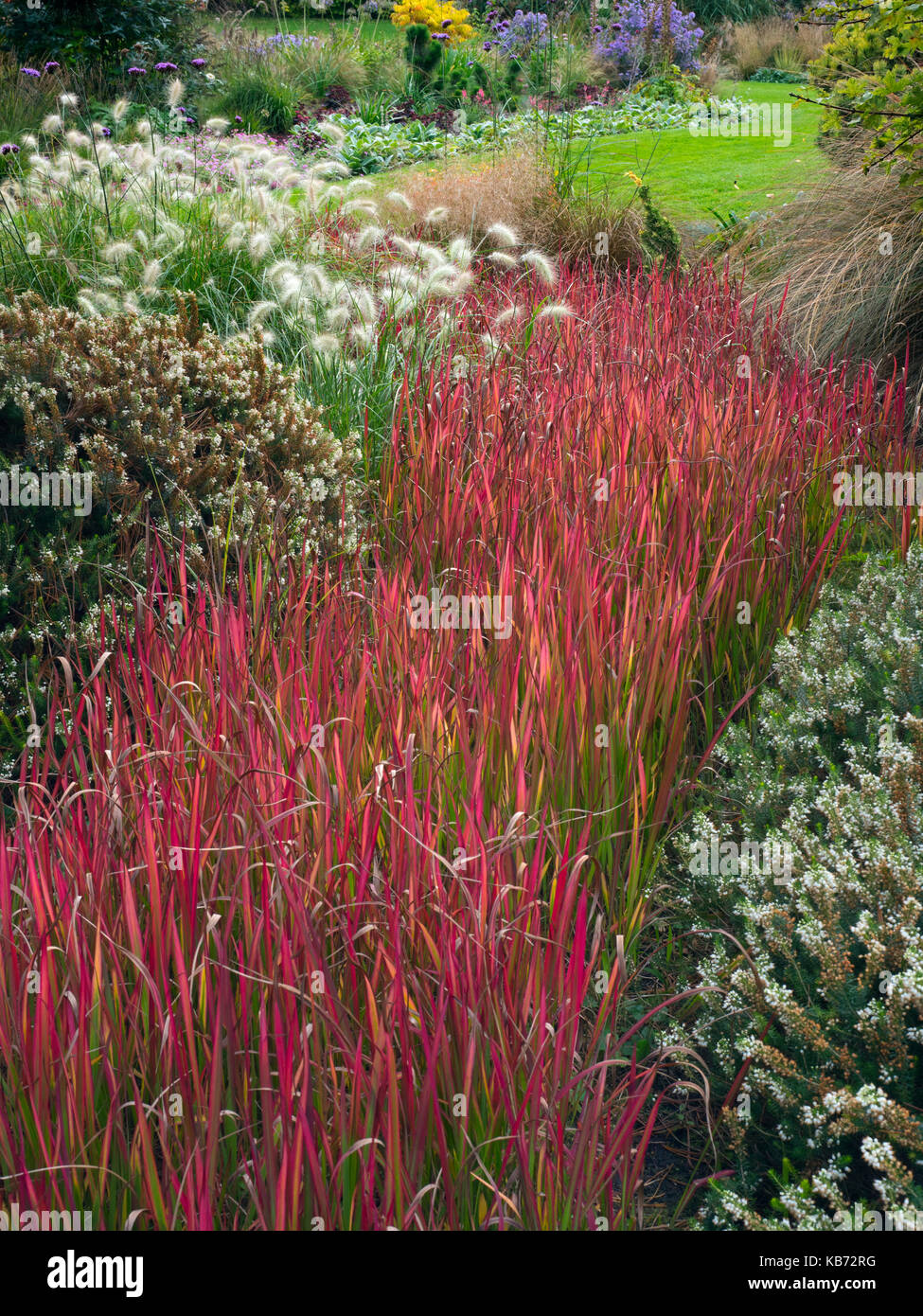 Imperata cylindrica 'Rubra' or Japanese blood grass in garden border - Stock Image