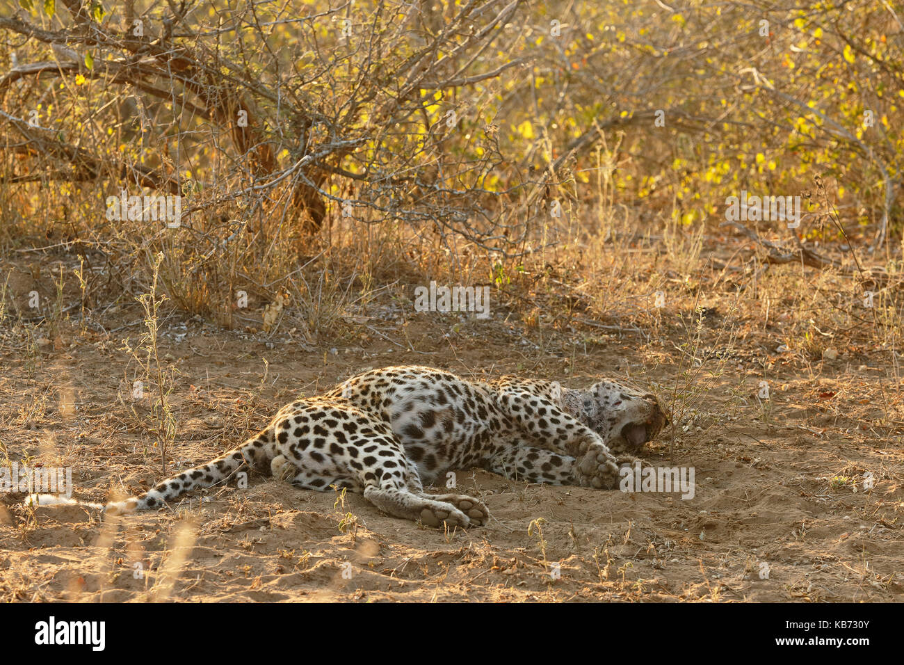The body of a dead Leopard (Panthera pardus) probaly killed by another leopard or lions, South Africa, Mpumalanga, - Stock Image