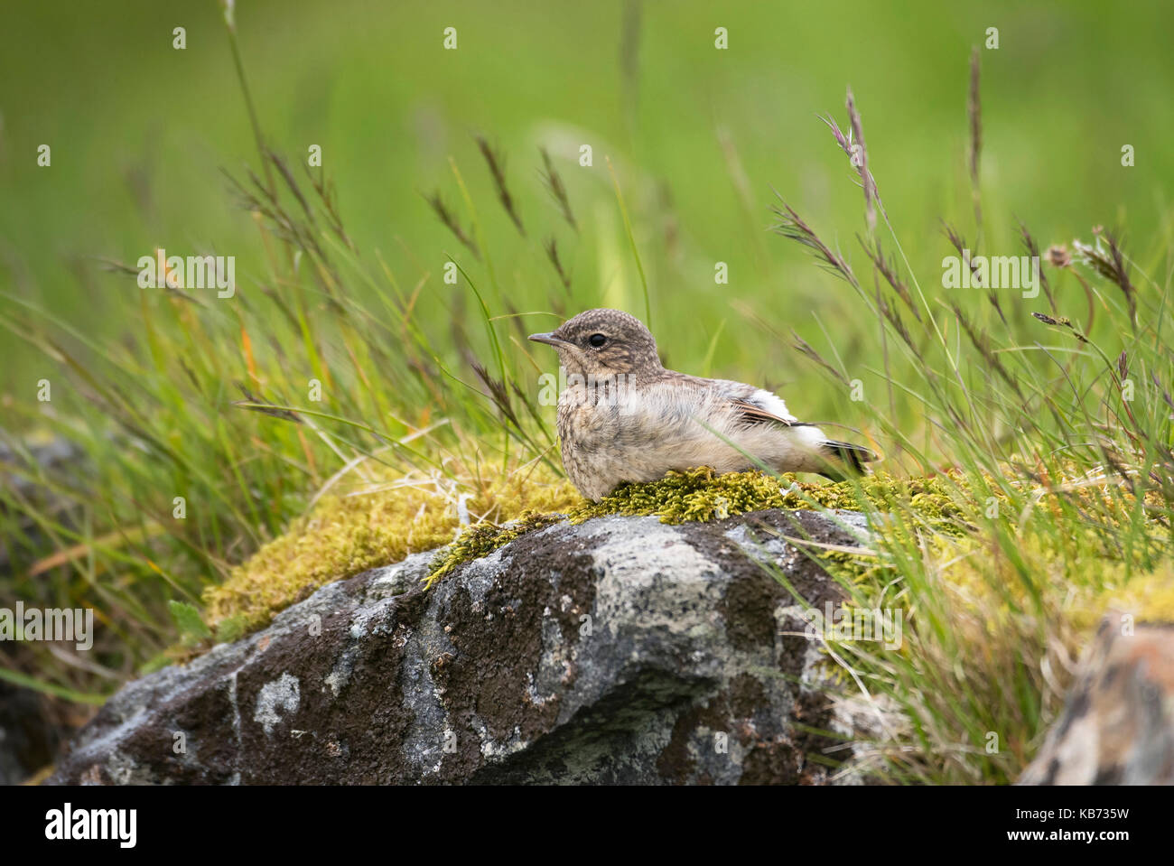 Young Northern Wheatear (oenanthe oenanthe) resting on a rock with moss, grass and lichen, Norway, More og Romsdal, - Stock Image