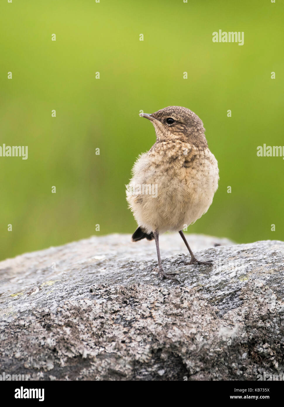 Young Northern Wheatear (oenanthe oenanthe) on rock with lichen, Norway, More og Romsdal, Runde island - Stock Image