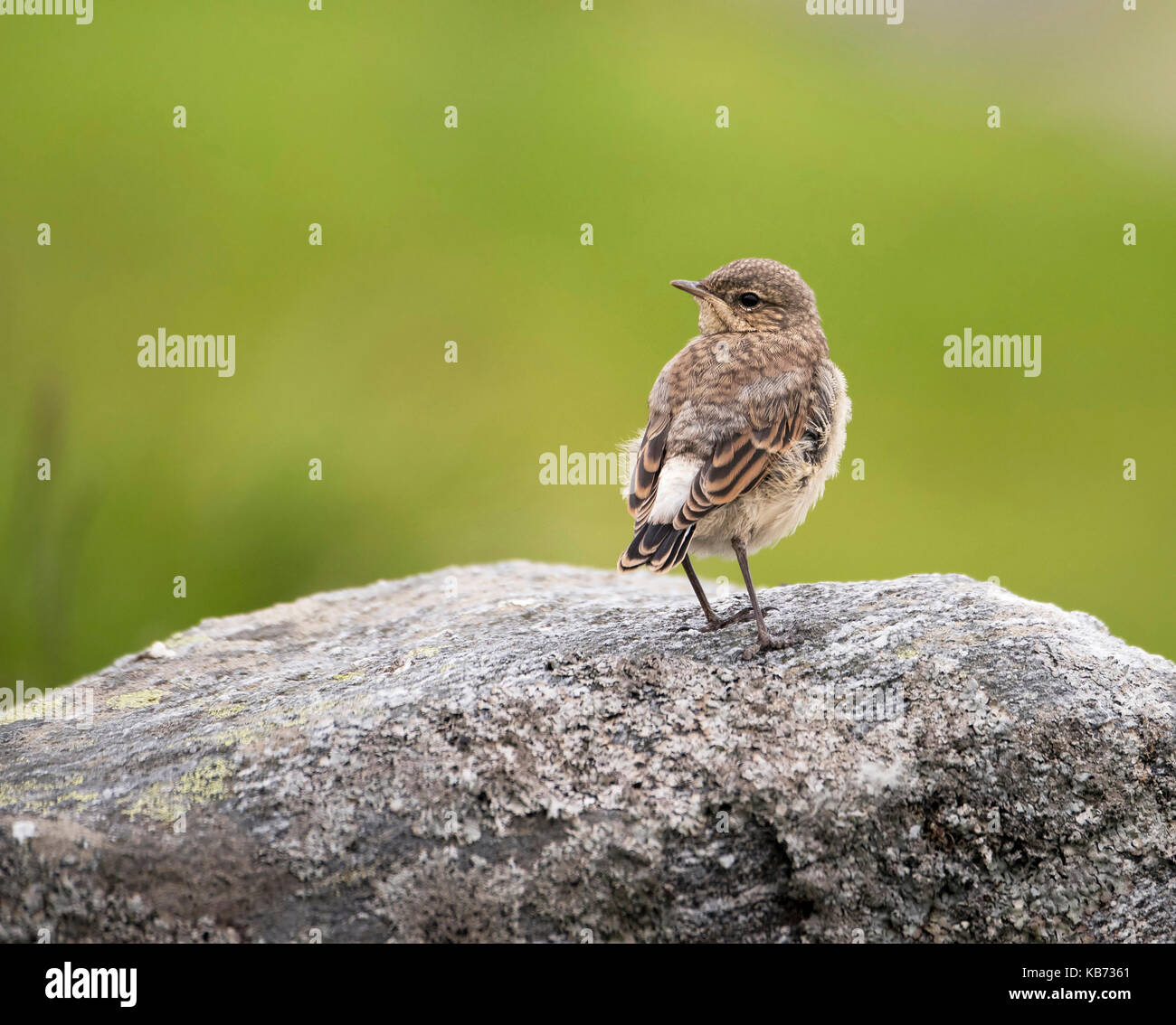 Young Northern Wheatear (oenanthe oenanthe) on rock looking backward, Norway, More og Romsdal, Runde island - Stock Image