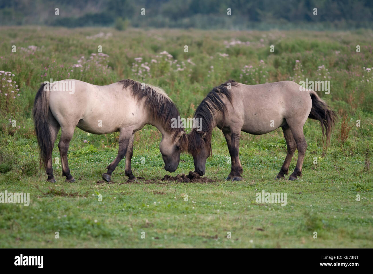 Wild Horse (Equus caballus) pair interacting over dung pile, Oostvaardersplassen Nature Reserve, The Netherlands, - Stock Image