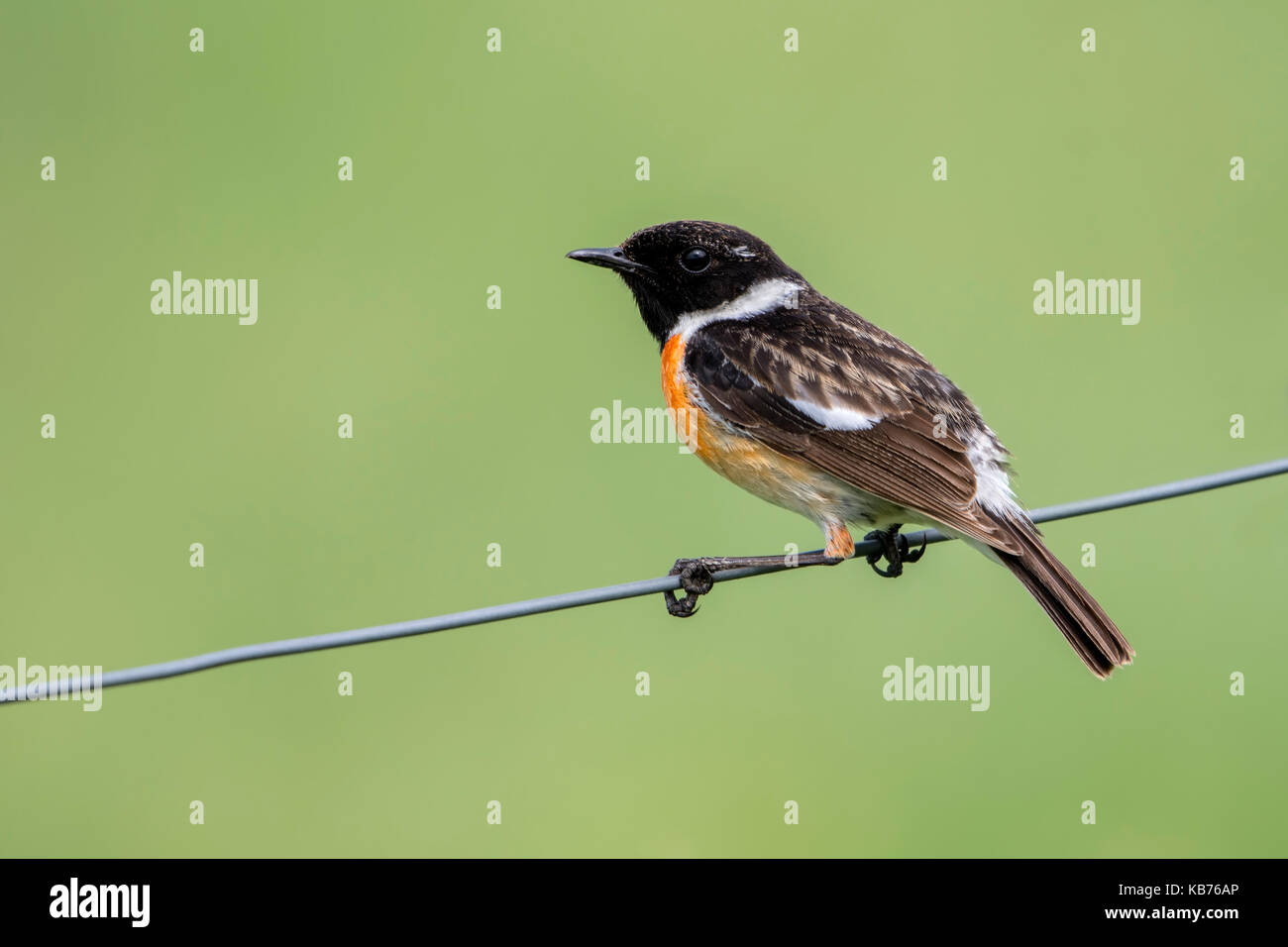 European Stonechat (Saxicola rubicola) on a wire, The Netherlands, Gelderland, Elburg - Stock Image
