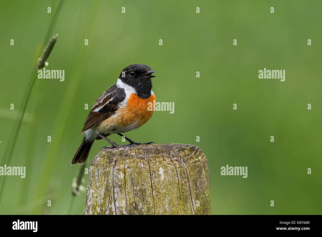 European Stonechat (Saxicola rubicola) perched on a pole and looking at camera, The Netherlands, Gelderland, Elburg - Stock Image