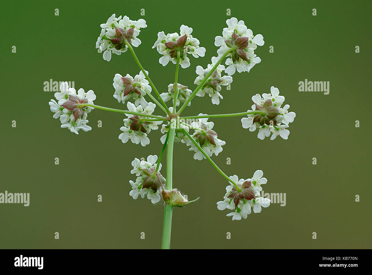 Cow Parsley (Anthriscus sylvestris) flourishing, The Netherlands, Drenthe - Stock Image