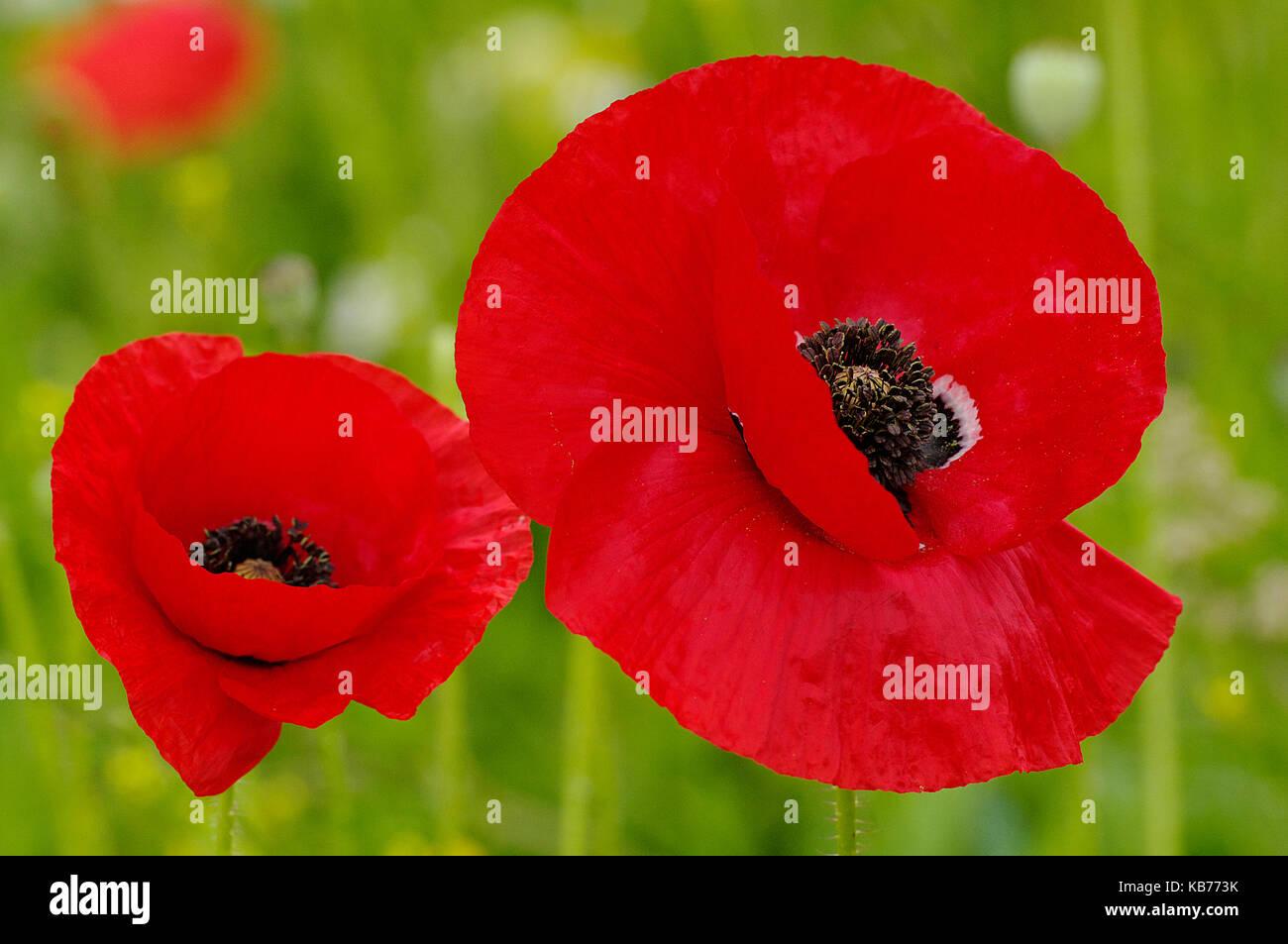 Iranian Poppies Papaver Bracteatum Flowering The Netherlands