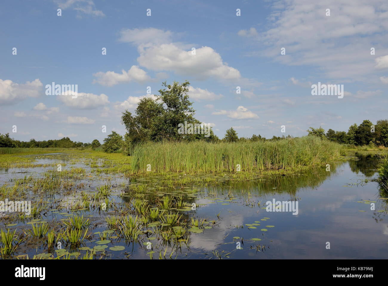 A landscape with open water, typical view with Water Soldier (Stratiotes aloides) of the National Parc Weerribben - Stock Image