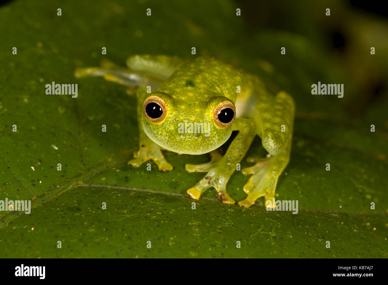 Unknown Hyalinobatrachium sp. sitting on a leaf, Ecuador, Napo, San Jose de Payamino - Stock Image