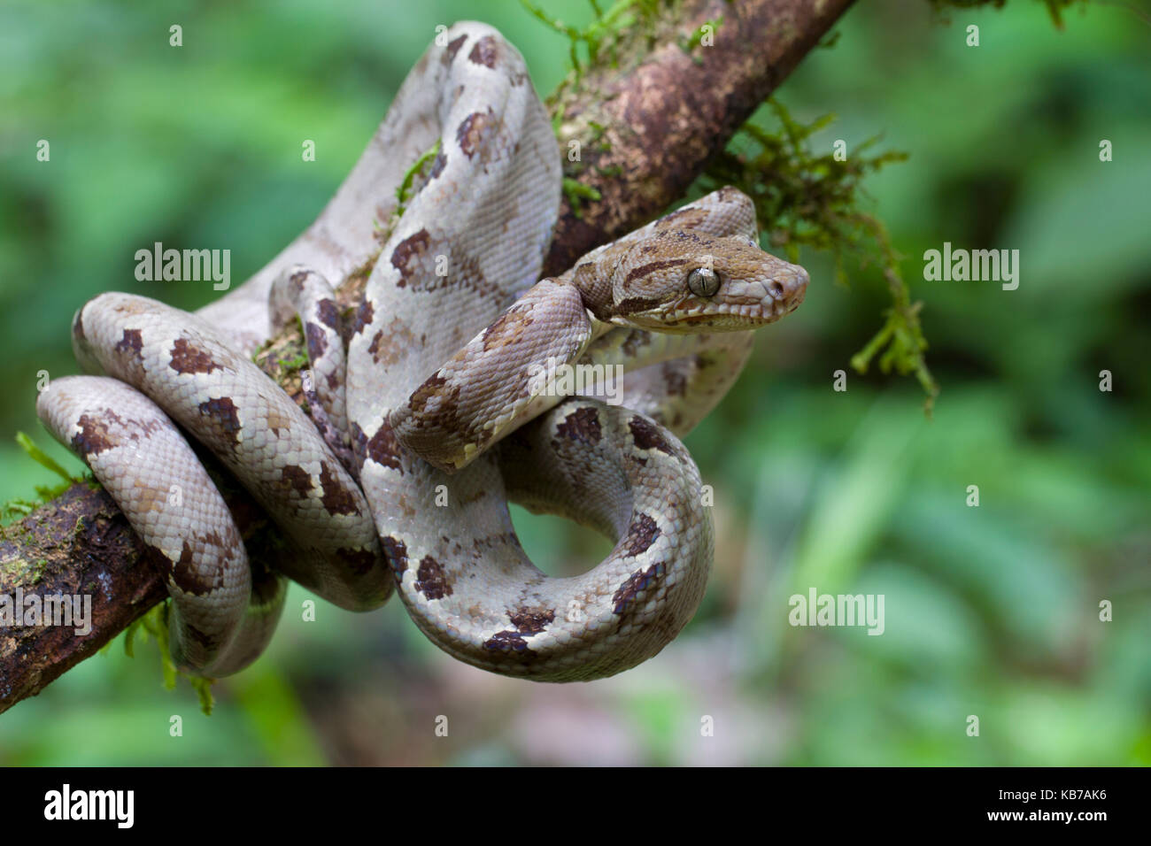 Boa Constrictor Amazon Stock Photos & Boa Constrictor Amazon Stock ...