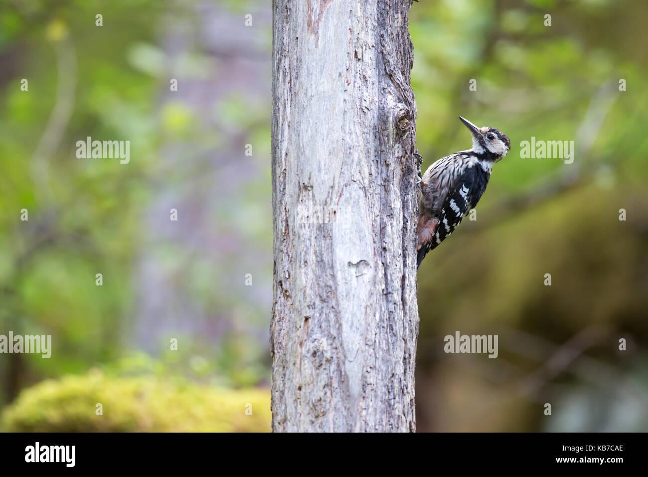 White-backed Woodpecker (Dendrocopos leucotos) female sitting on tree trunk, Norway, More og Romsdal, Molde - Stock Image