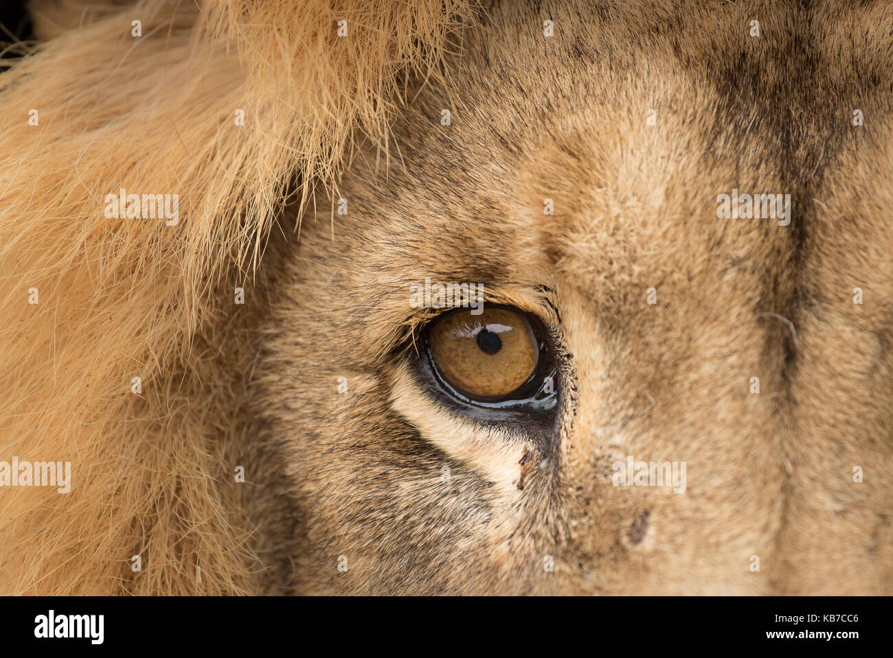 A close up of a beautiful male lion Stock Photo