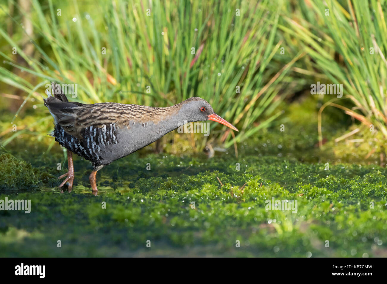 Water Rail (Rallus aquaticus) hunting in a bog lake with grass and Peat Moss (Sphagnum sp), The Netherlands, Drenthe, - Stock Image