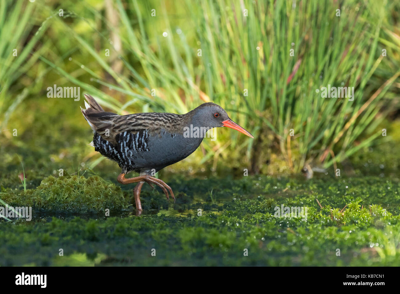Water Rail (Rallus aquaticus) wading gingerly in a bog lake with grass and Peat Moss (Sphagnum sp), The Netherlands, - Stock Image