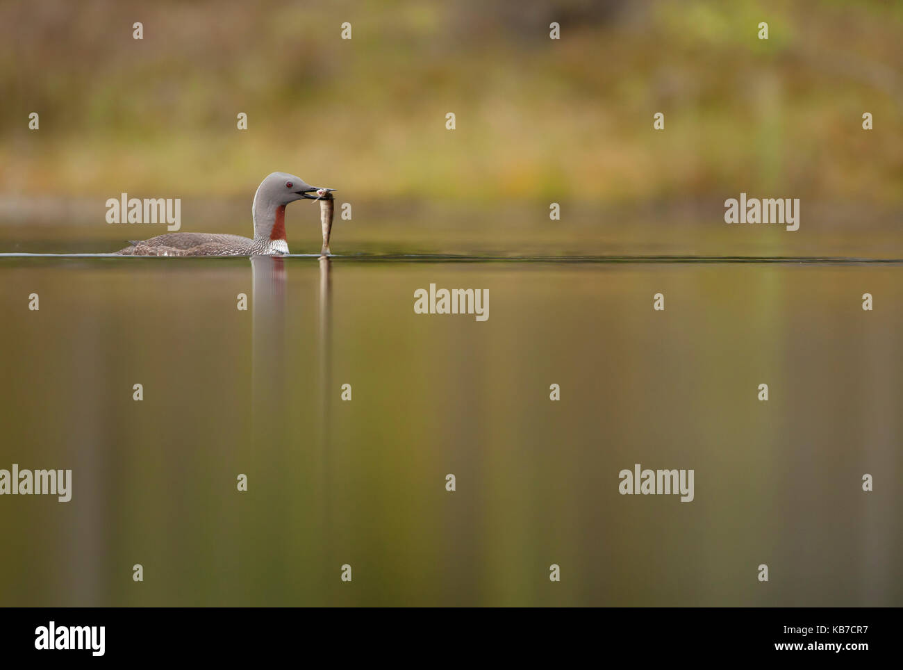 Red-throated Loon (Gavia stellata) with a caught fish, Norway, Nord Trondelag, Lierne - Stock Image