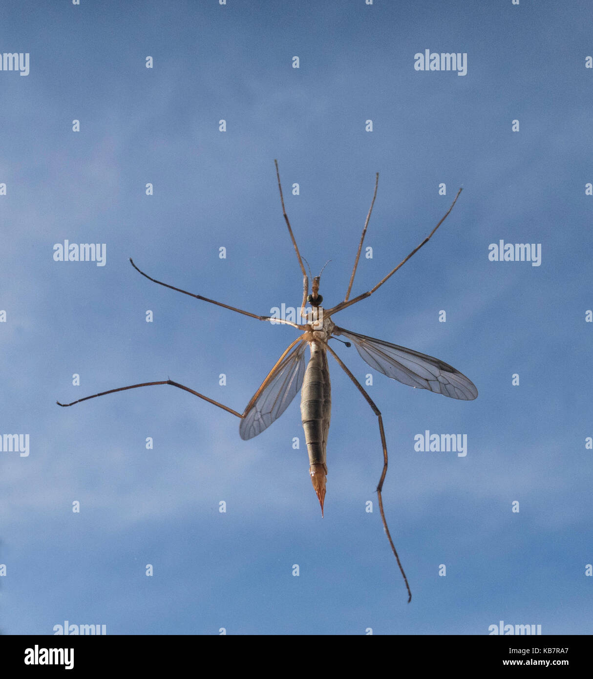 Crane fly  - a member of the insect family Tipulidae, of the order Diptera, true flies in the superfamily Tipuloidea. Stock Photo