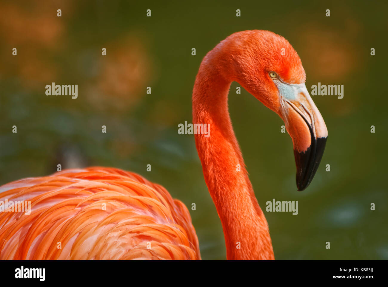 Flamingo portrait showing beak head neck and part of body with blurred background - Stock Image