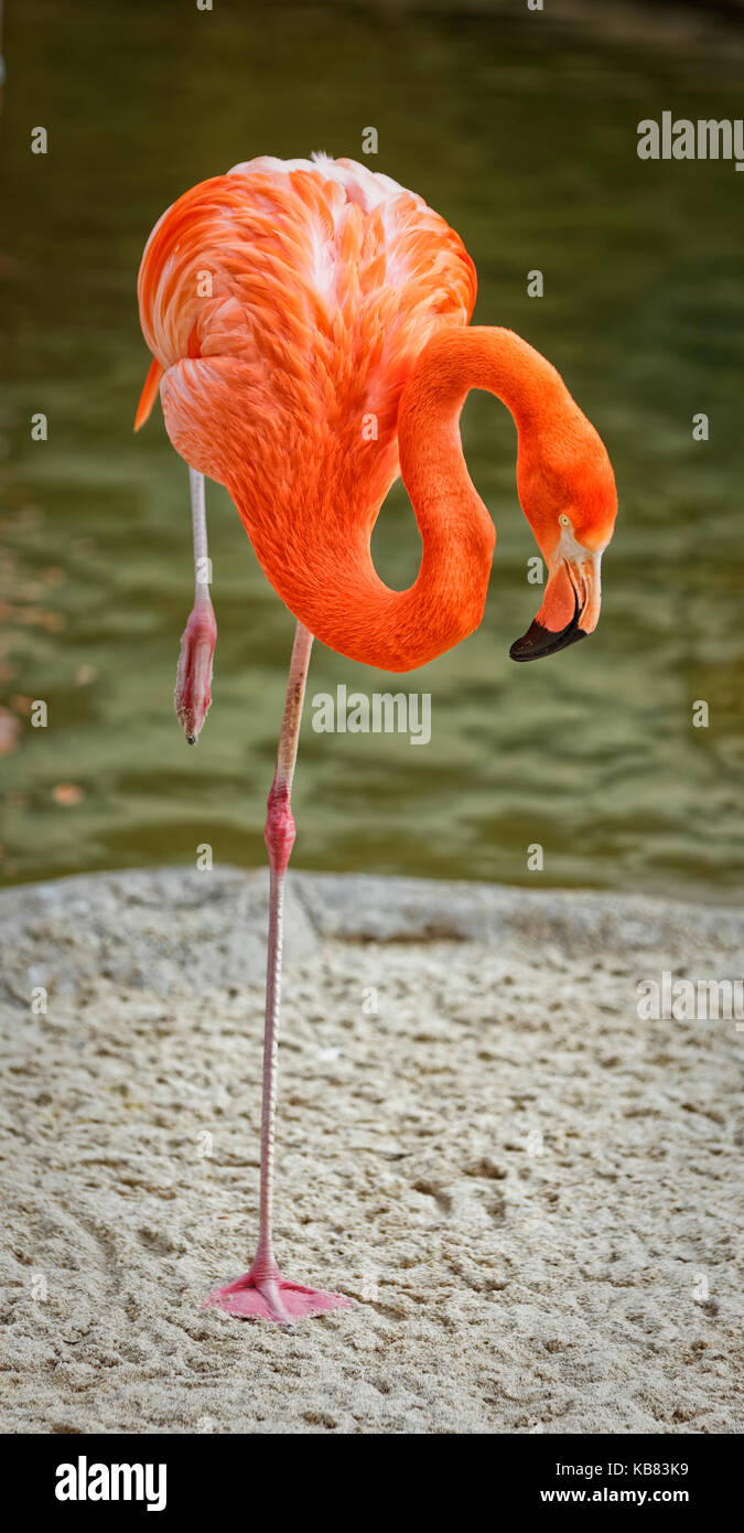 Flamingo portrait showing the whole bird with blurred background Stock Photo