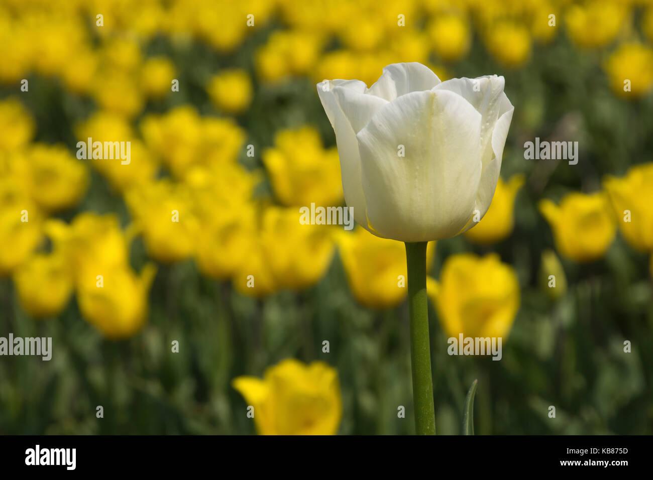 Lonely white tulip - Stock Image