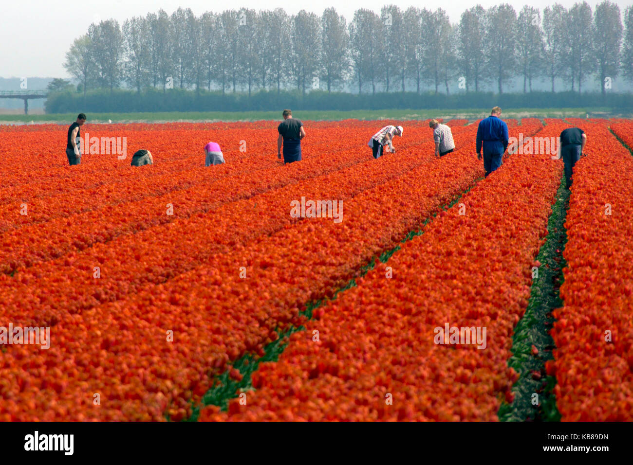 Workers in a tulip field - Stock Image