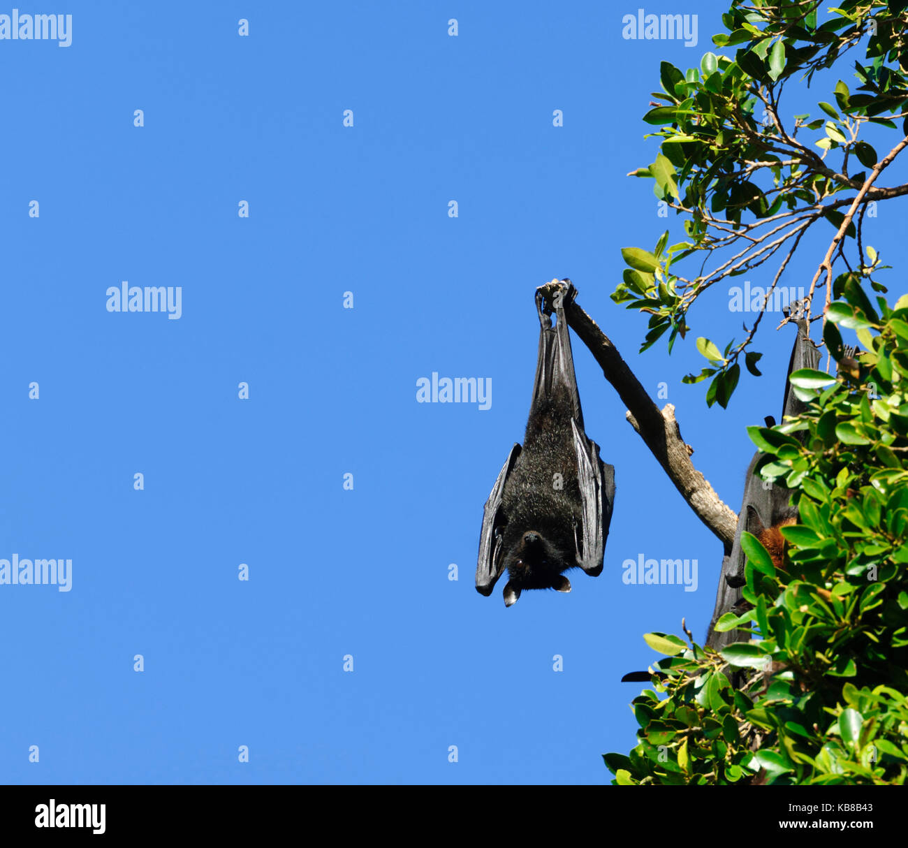 A Black Flying Fox (Pteropus alecto) roosting in Lissner Park in Charters Towers, Queensland, QLD, Australia Stock Photo