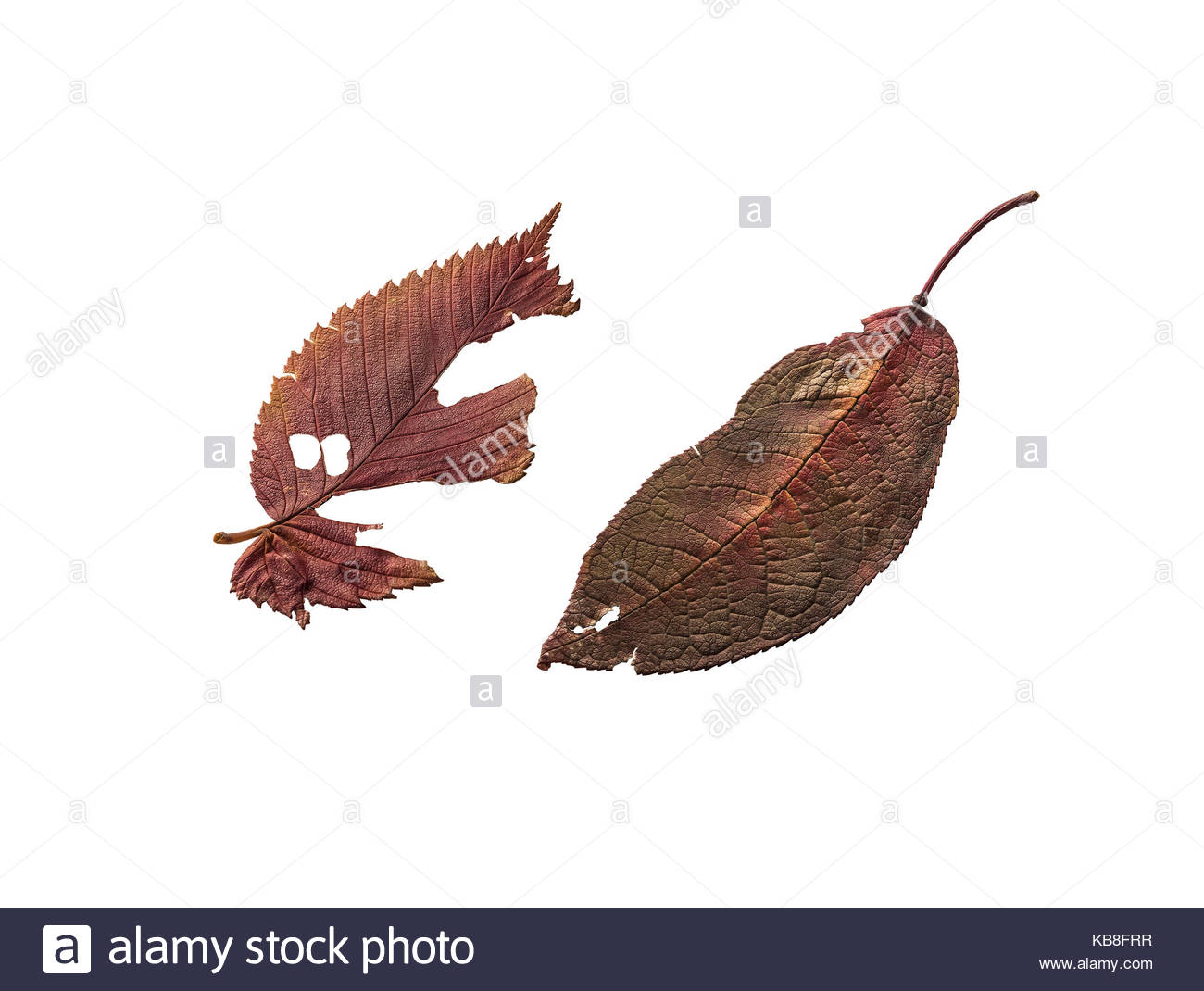 Autumn leaves. Isolated on white - Stock Image