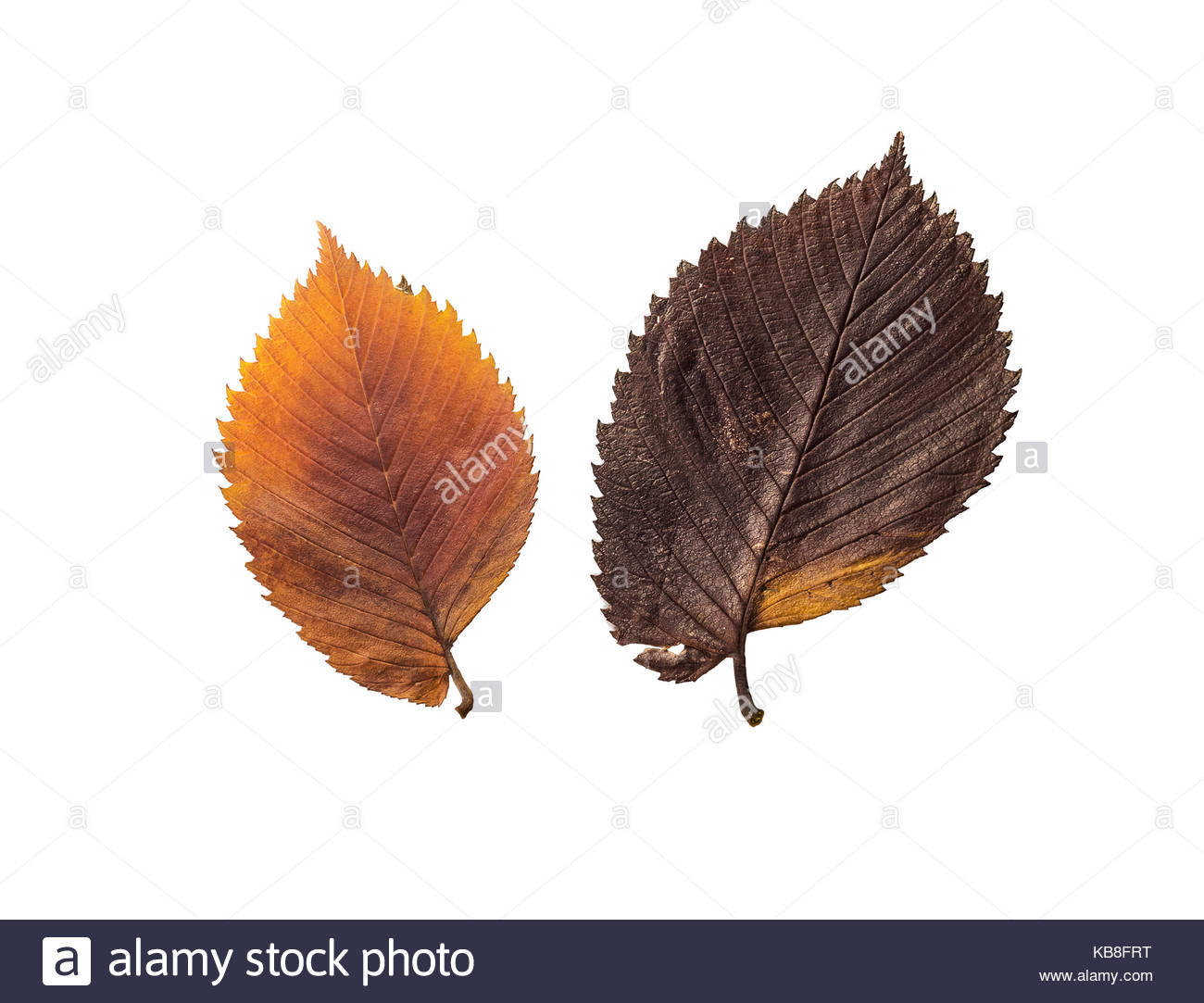 Autumn leaves. Elm. Isolated on white - Stock Image