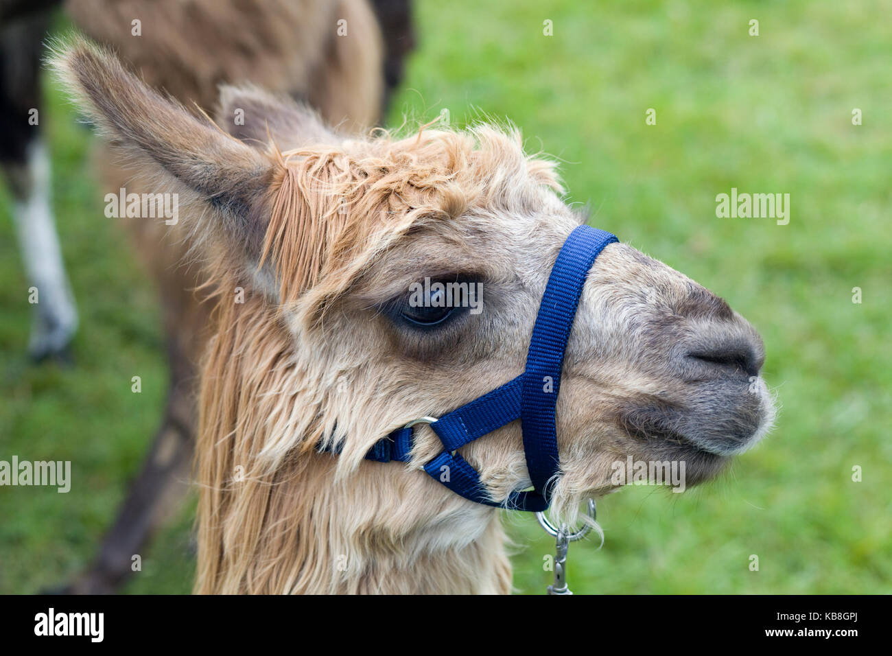 Llama at a showground - Stock Image