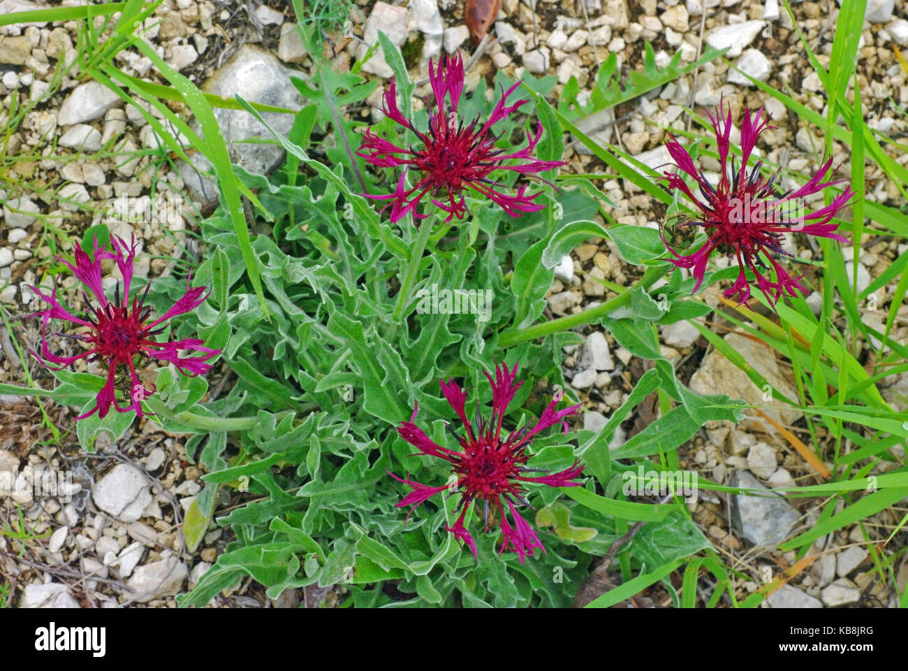 a wildflower from the genus Centaurea, the Knapweeds, family Asteraceae (Compositae) - Stock Image