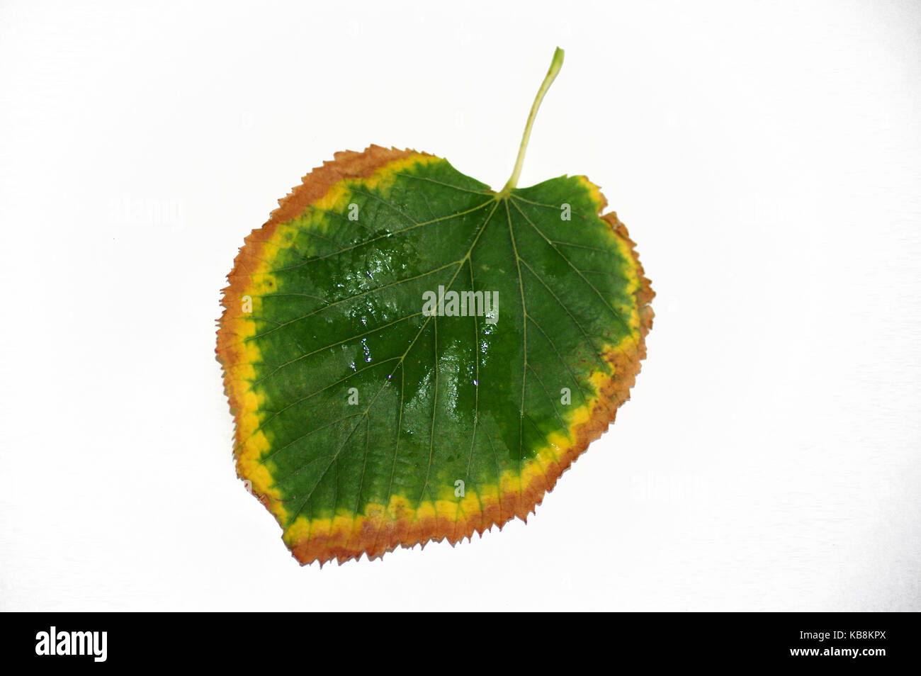 Lime tree leaf in autumn on white background - Stock Image