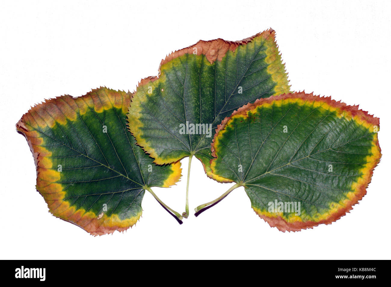 Lime tree leaves in autumn on white background - Stock Image