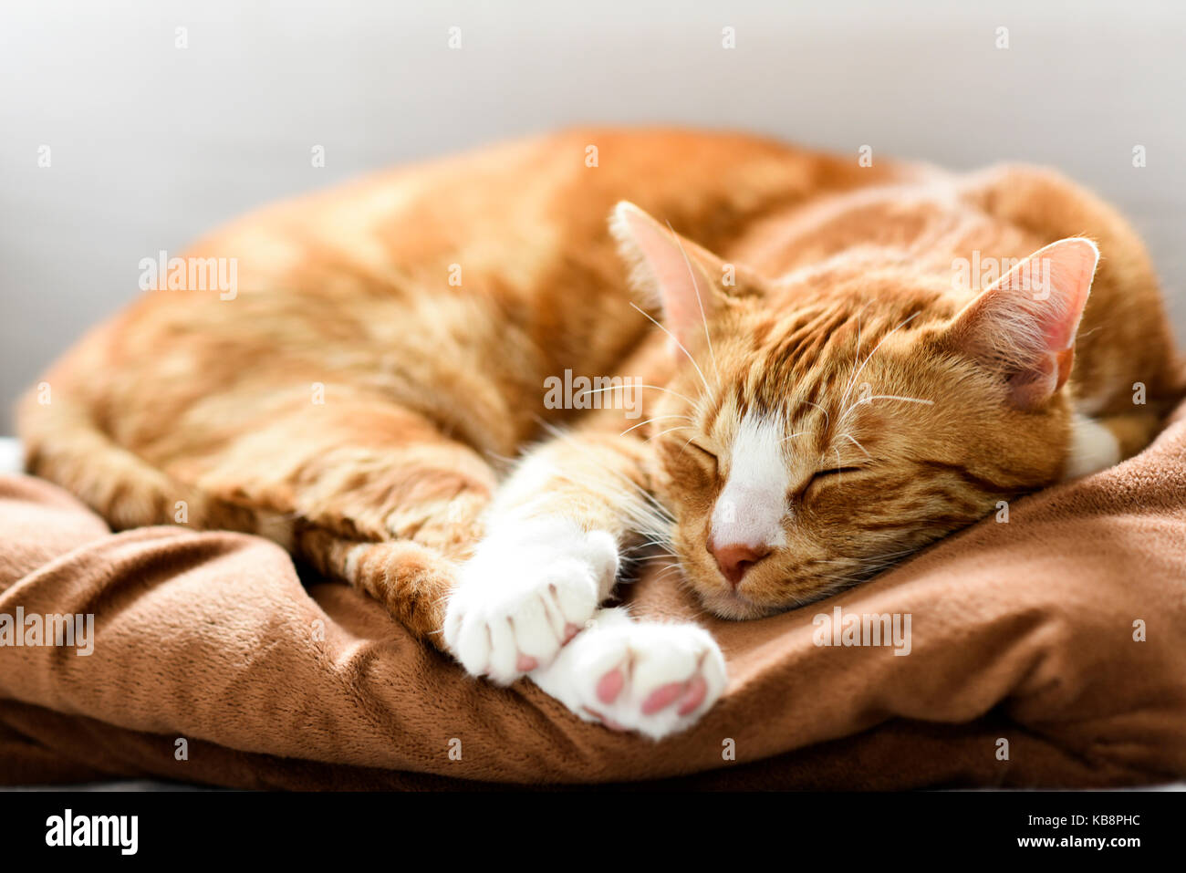 A young cat sleeping on a couch at home, sweet and beautiful. Stock Photo