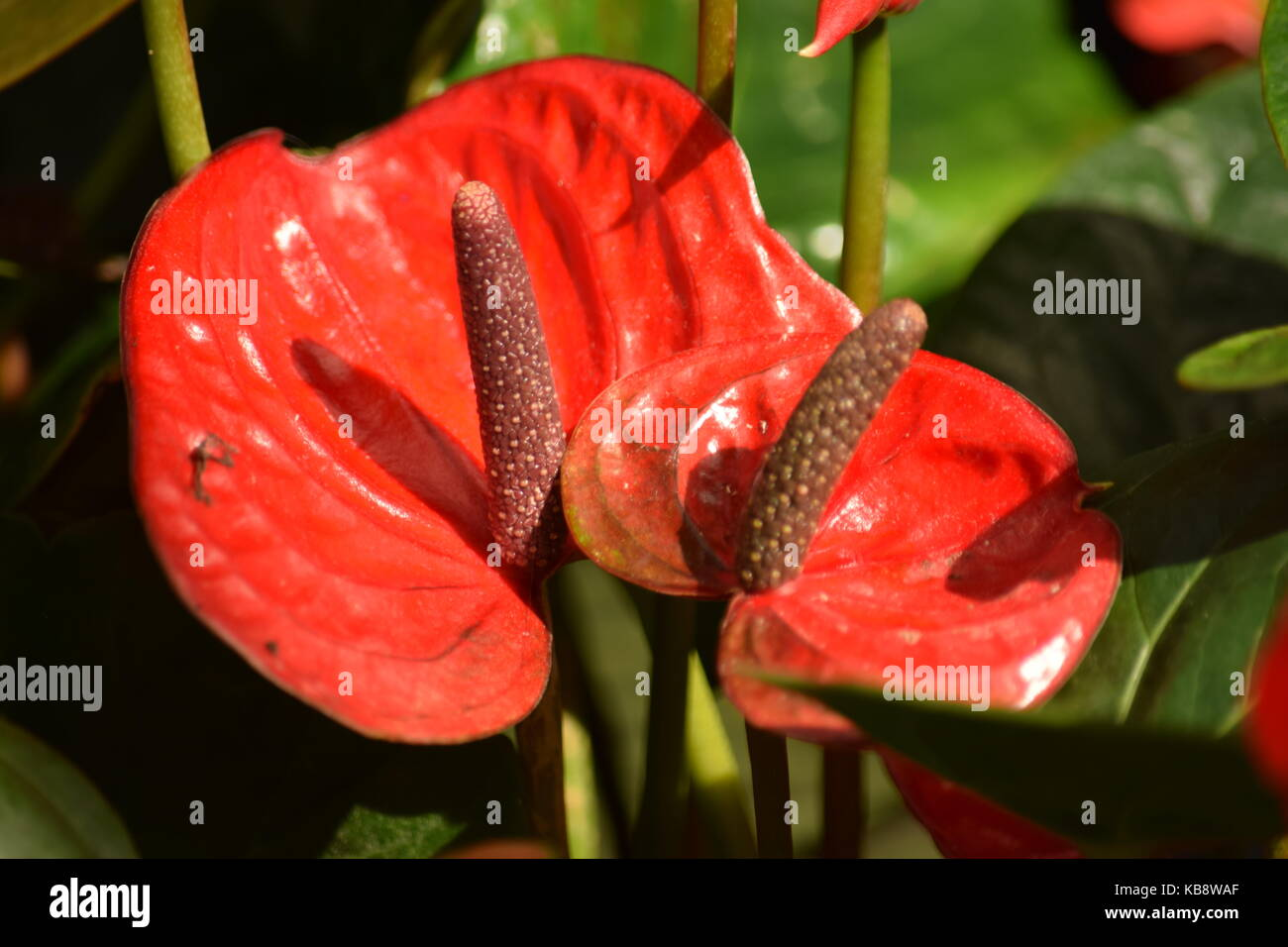 Red peace lily stock photos red peace lily stock images alamy peace lily red stock image izmirmasajfo